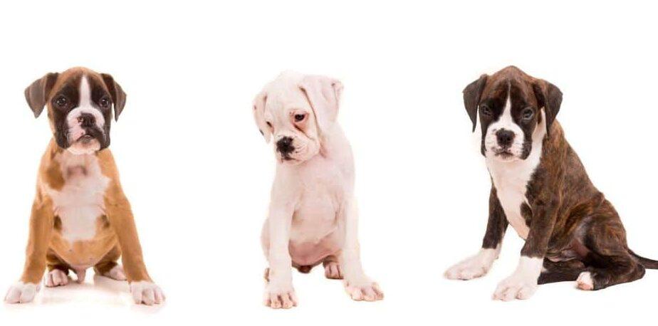 انواع رنگ سگ نژاد باکسر