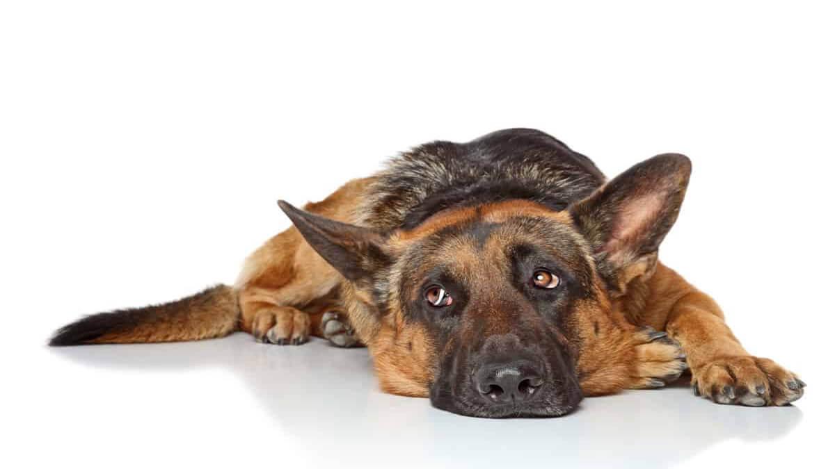 علت غذا نخوردن سگ ژرمن