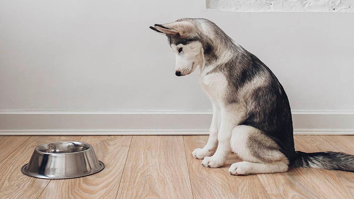 بی اشتهایی سگ هاسکی