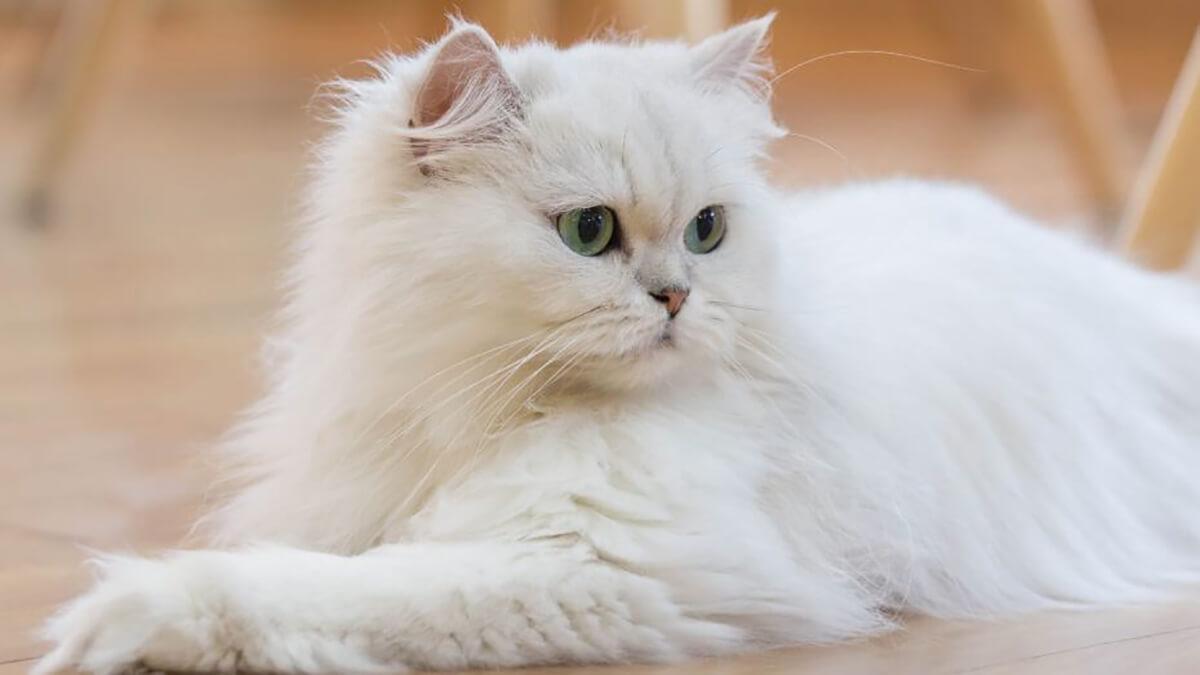 هربال در گربه پرشین
