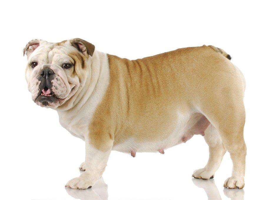 زایمان سگ بولداگ