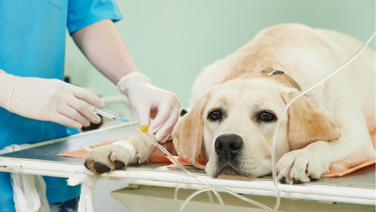 سرم تراپی برای درمان کم اشتهایی سگ