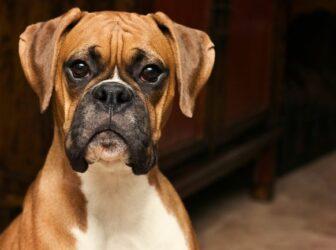 سگ نژاد باکسر؛ سگ نگهبانی که عاشق مراقبت از شماست!