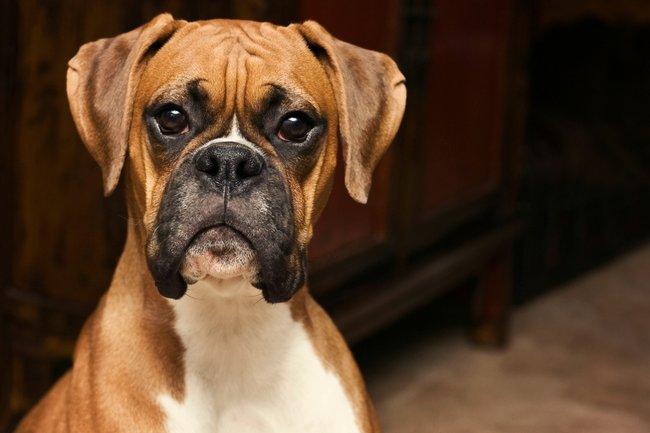 عکس سگ باکسر