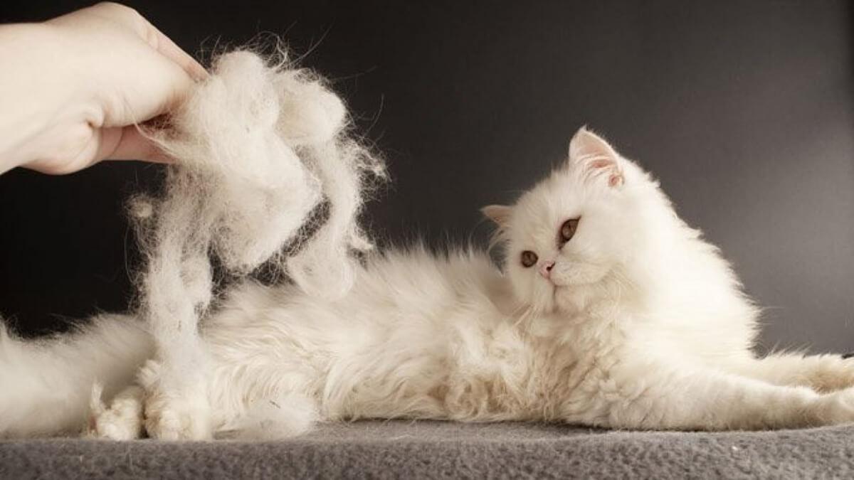 برس کشیدن موی گربه