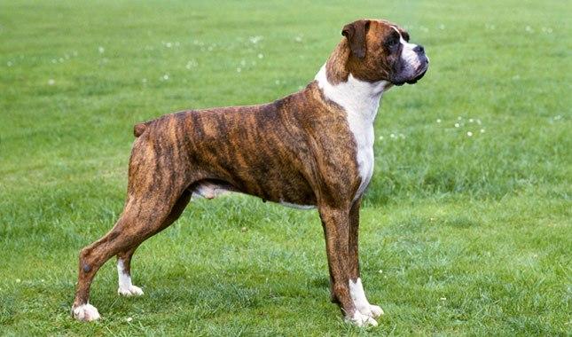 سگ Boxer brindle