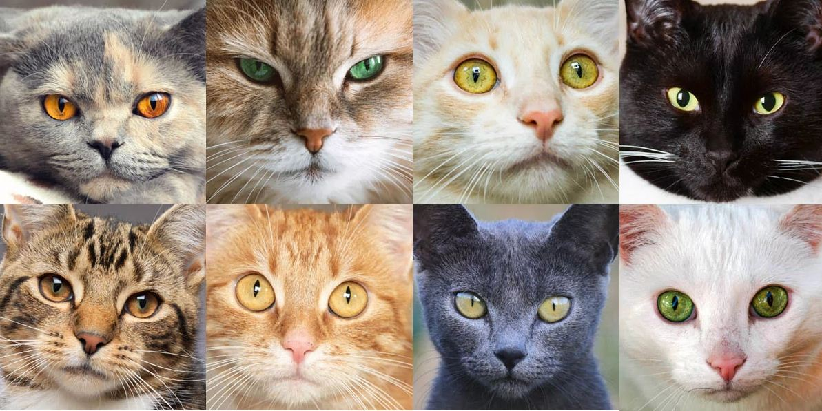 انواع گربه DSH