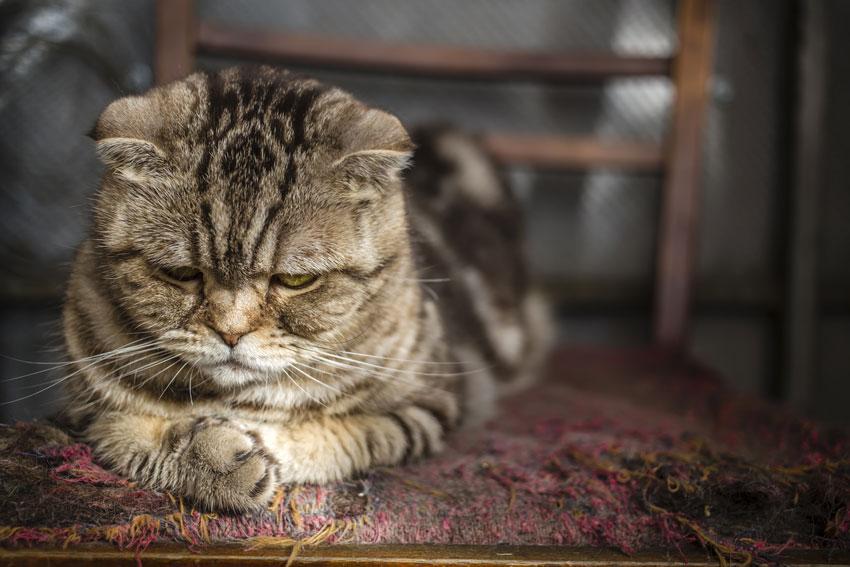 تغییرات رفتاری؛ یکی از نشونه های اضطراب گربه