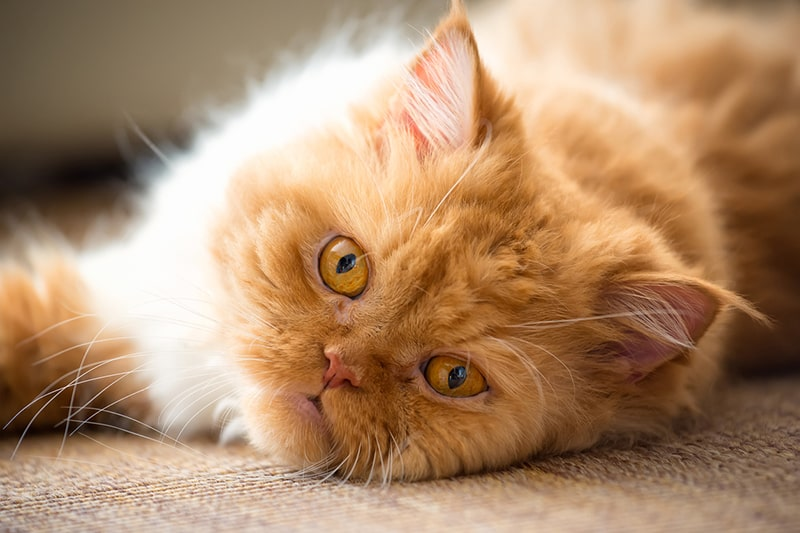 استرس گربه پرشین