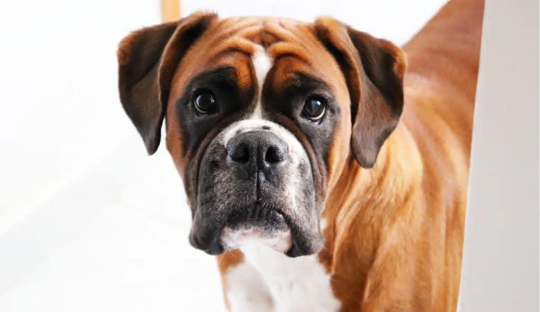 عکس باکسر سگ در طبیعت