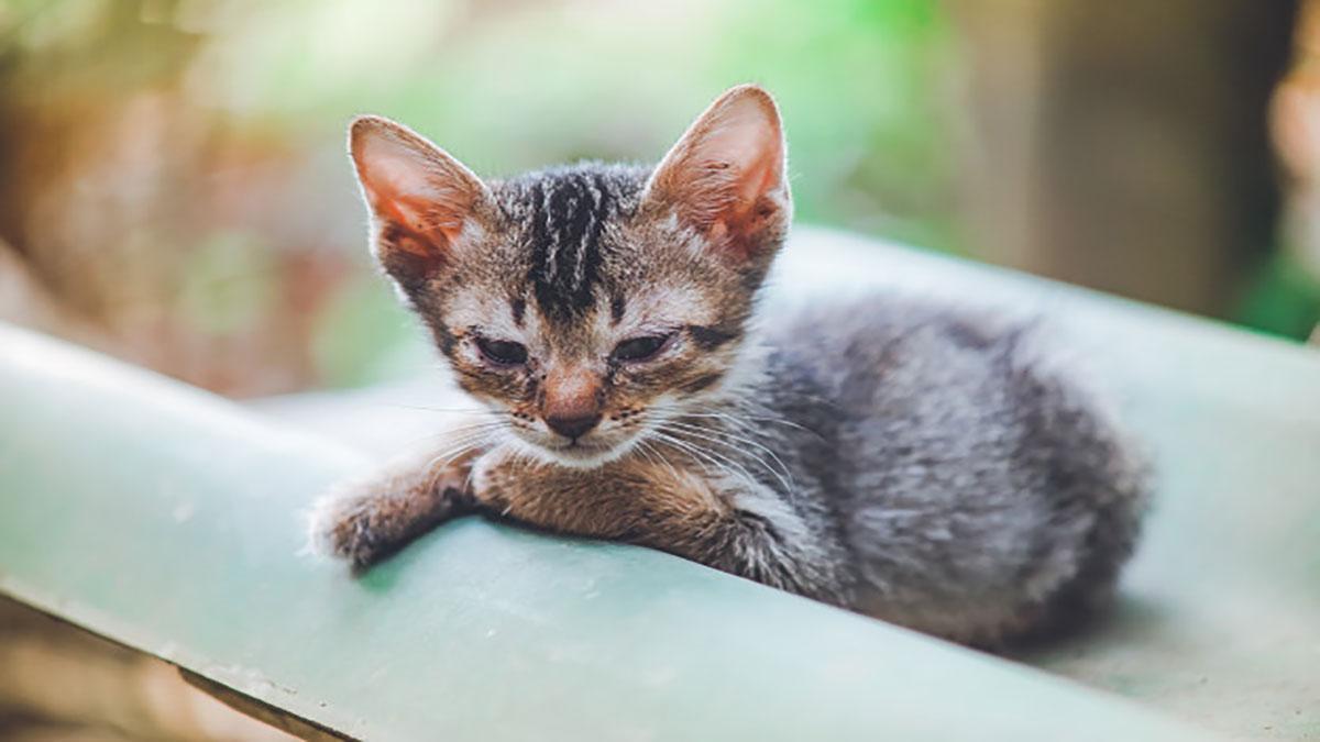 بچه گربه مبتلا به FIP
