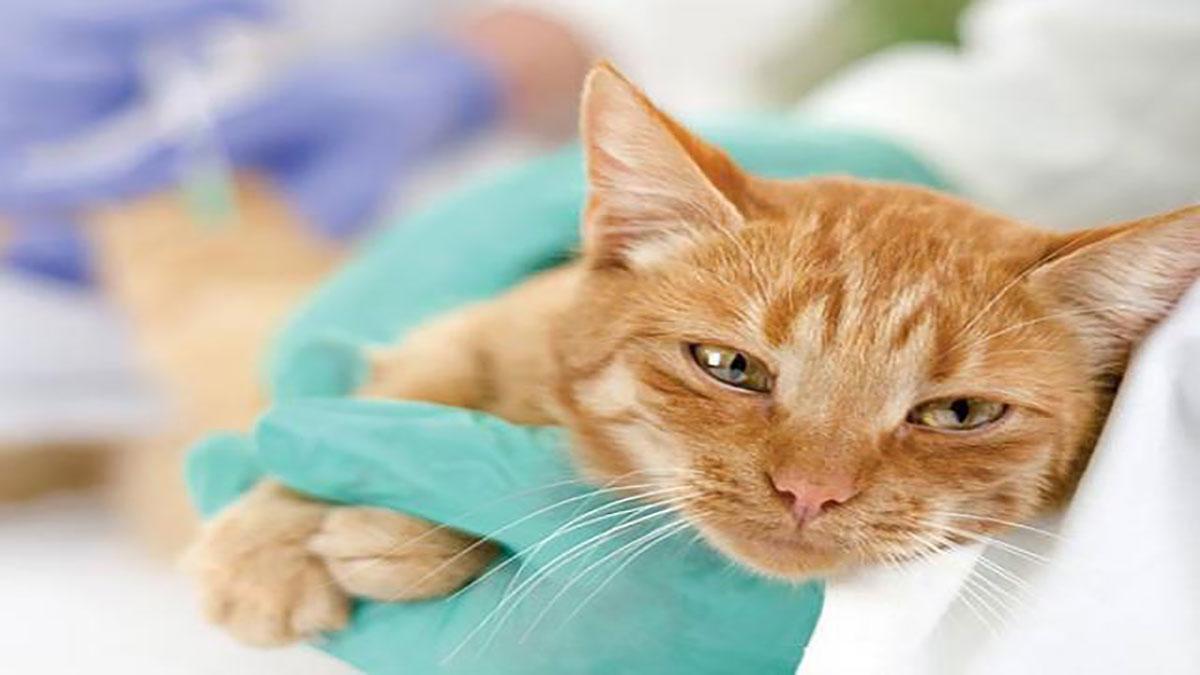 تشخیص بیماری پریتونیت عفونی گربه (FIP)