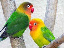 روشهای تعیین جنسیت طوطی برزیلی (لاوبرد)