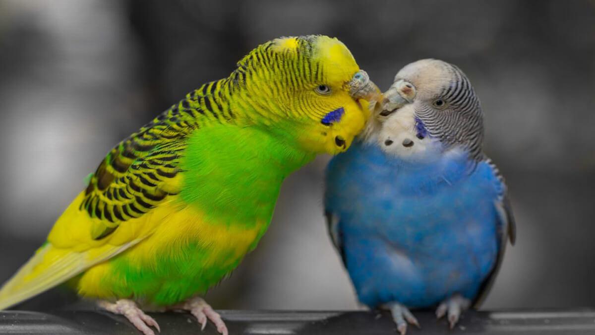 نژاد مرغ عشق سبز