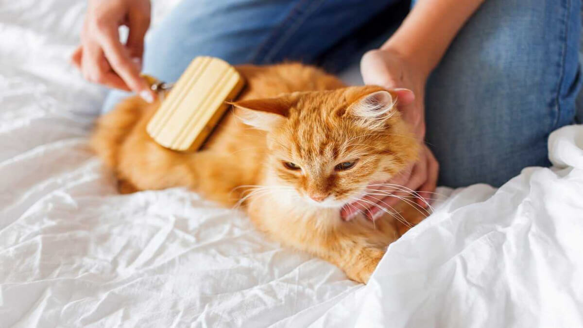 شانه کردن گربه حنائی