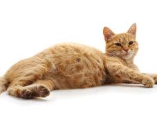 بارداری و حاملگی گربه؛ علائم، نگهداری و مدت زمان بارداری گربه