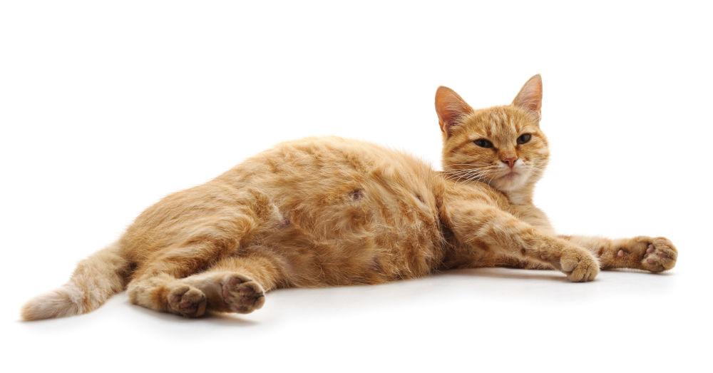 بارداری گربه