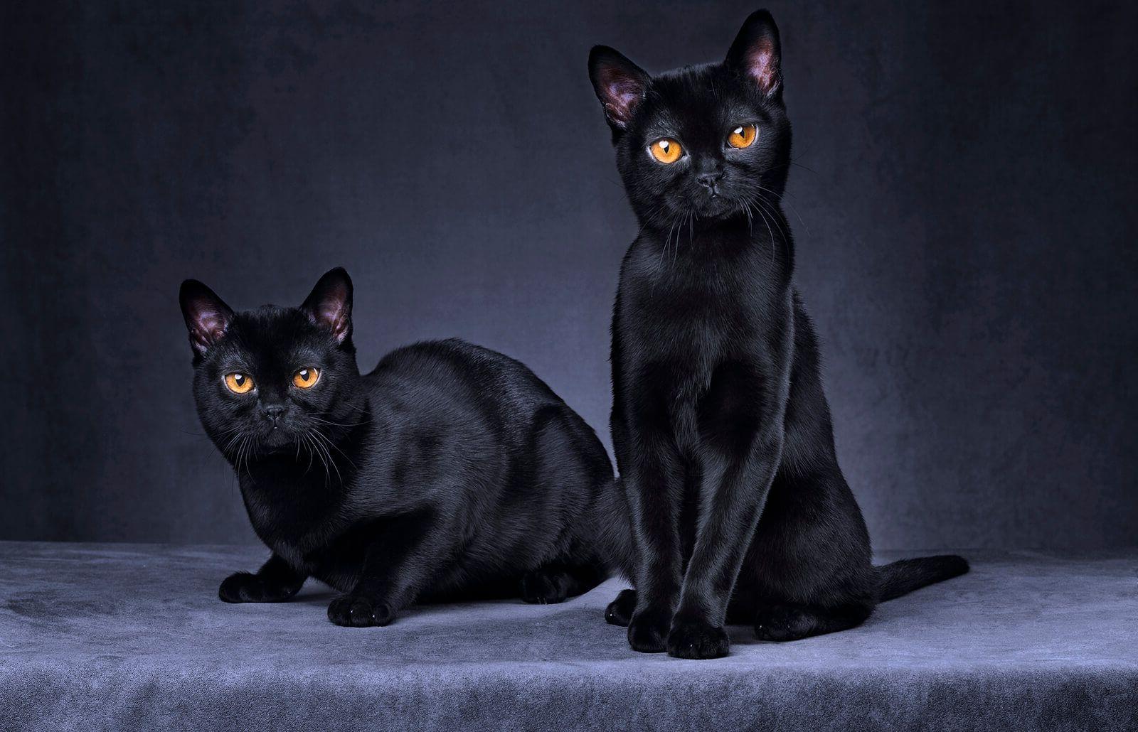 دو گربه بمبئی سیاه
