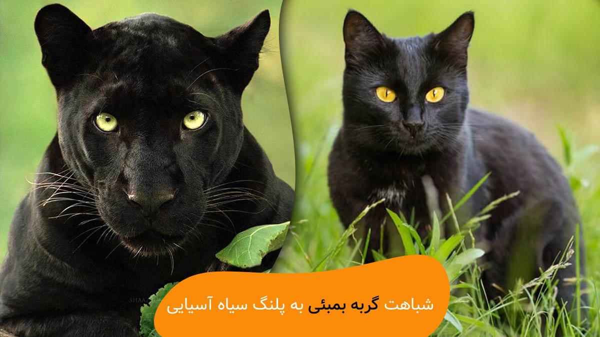 شباهت گربه بمبئی به پلنگ سیاه آسیایی