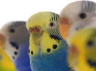 انواع نژاد مرغ عشق؛ در مورد بهترین رنگ های مرغ عشق بیشتر بدونیم!