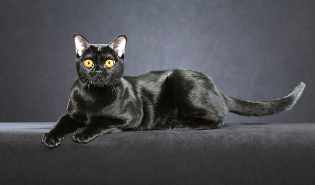 عکس گربه بمبئی