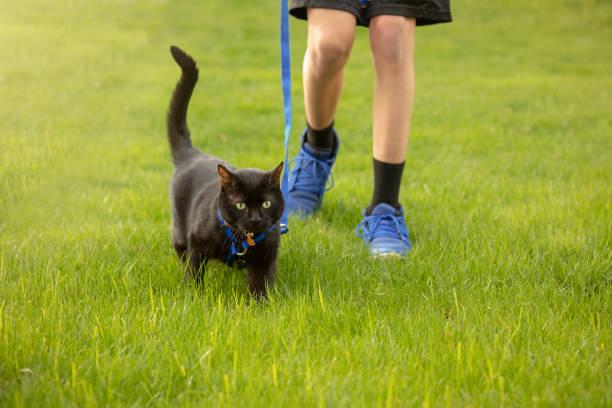 گربه سیاه بمبئی با قلاده