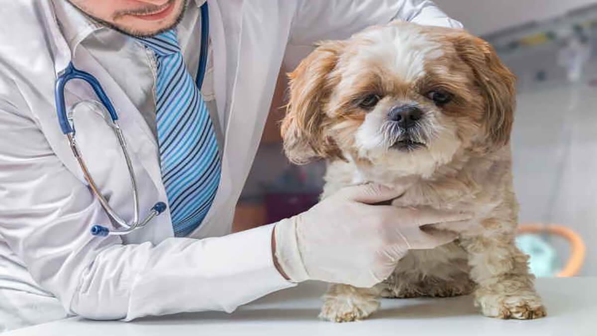 درمان اسهال سگ شیتزو