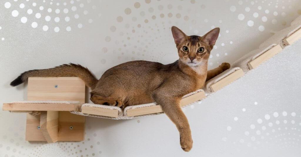 گربه آبیسینیان شیطون در حال بازی و شیطنت