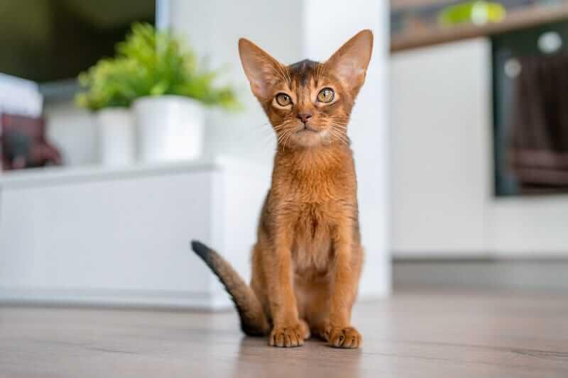 گربه ابیز با گوش های استاده و رو به جلو