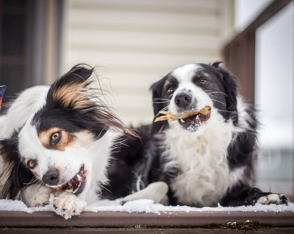 خواص پای مرغ برای سگ