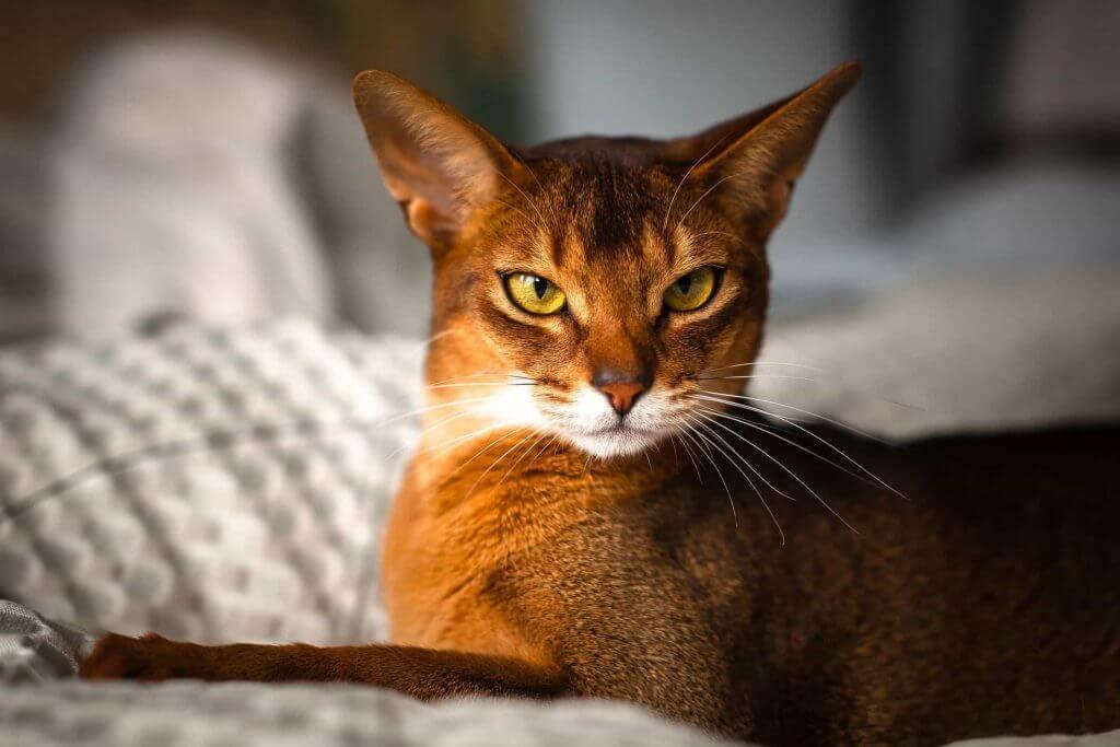 نژاد گربه حبشی با رنگ حنایی در حال نگاه کردن به دوربین