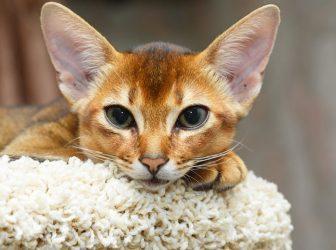 معرفی کامل گربه نژاد حبشی؛ معروف به دلقک گربهها