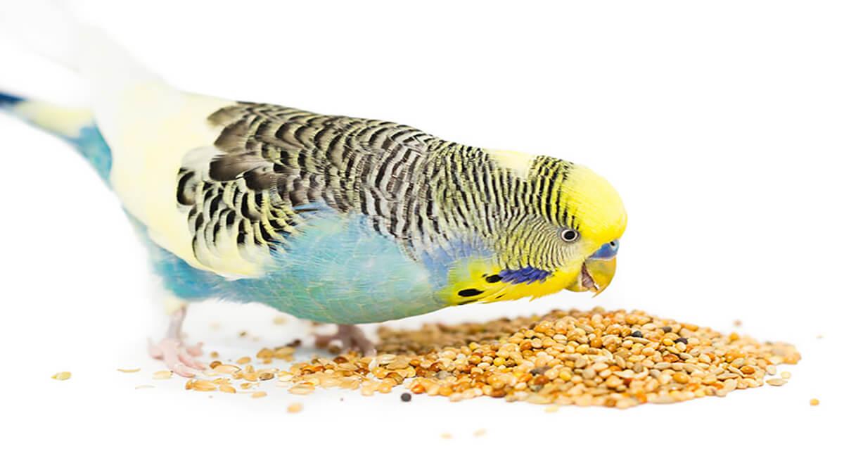 مرغ عشق در حال دانه خوردن