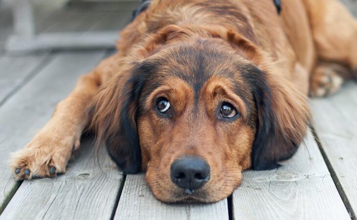 علائم دیروفیلاریازیس در سگ