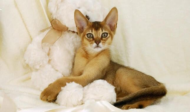 بچه گربه حبشی روی پتوی سفید