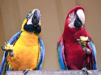 بهترین تغذیه برای پرندگان چیه و چطور طوطیها رو به خوردن پلت عادت بدیم؟