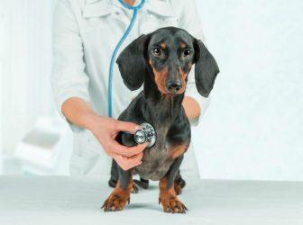 بیماری کرم قلب سگ (Dirofilariasis)؛ تشخیص، درمان، پیشگیری