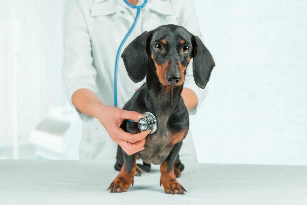 کرم قلب در سگ ها