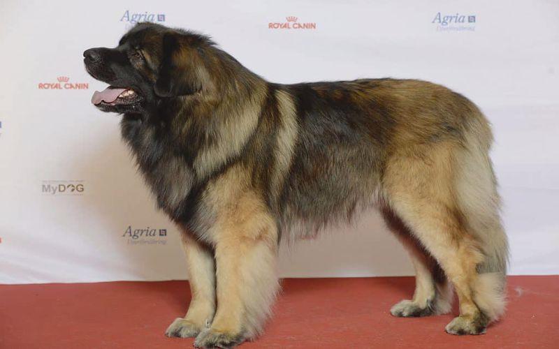 سگ لئون برگر یکی از بزرگترین سگ های جهان