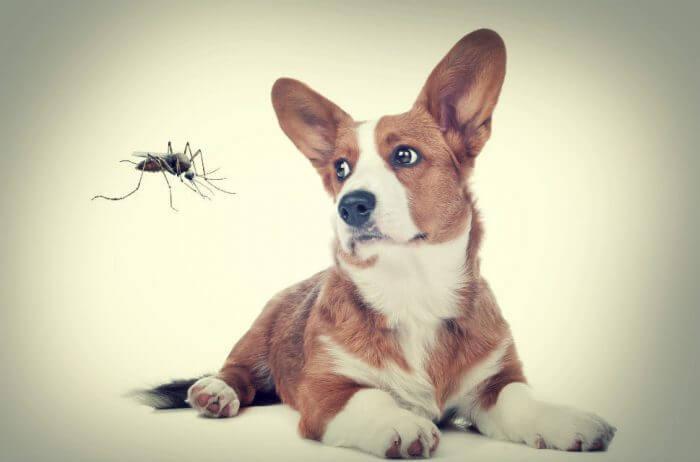 روش ابتلای سگ به بیماری کرم قلب