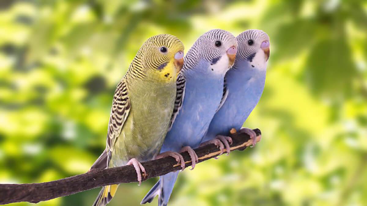 سه مرغ عشق روی شاخه درخت