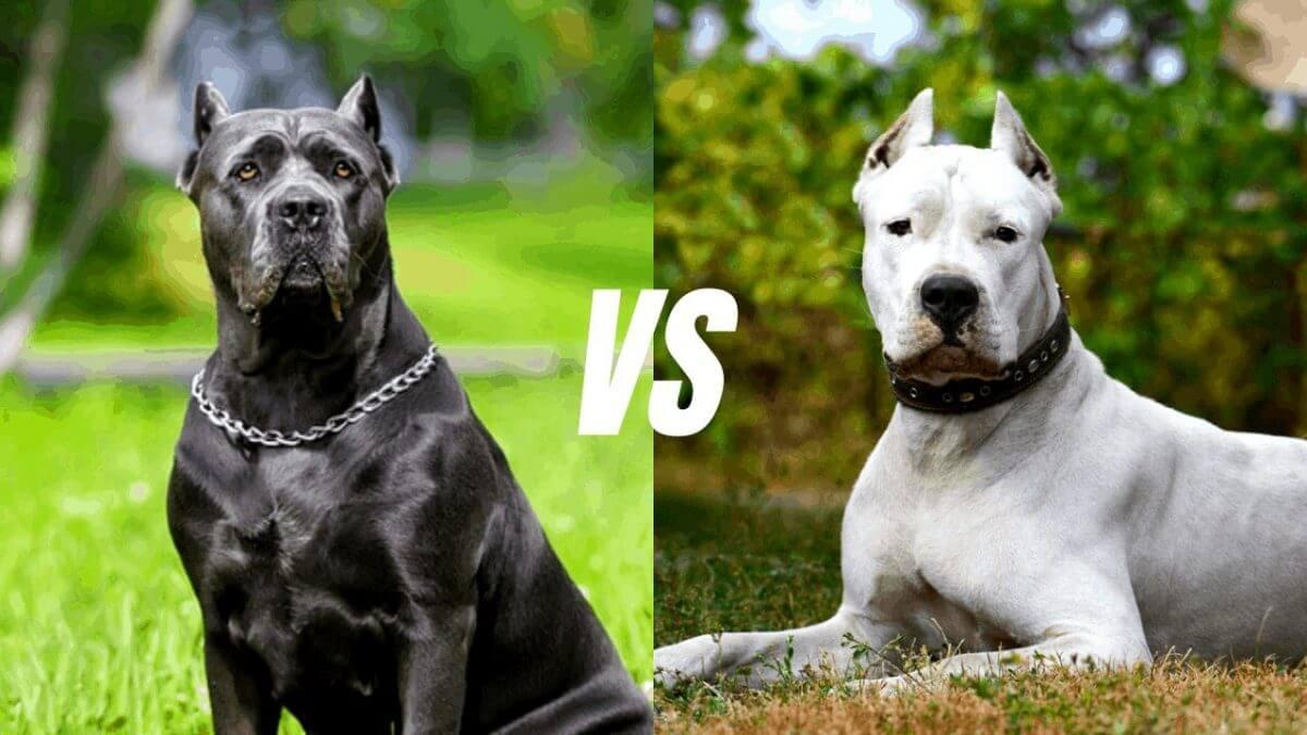 مقایسه سگ داگو آرژانتینو با کین کورسو