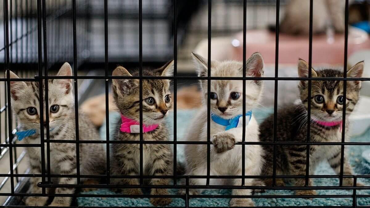 انتقال ویروس هرپس گربه در بین چند بچه گربه