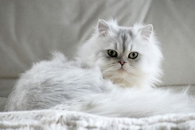 عکس گربه چین چیلا پرشین