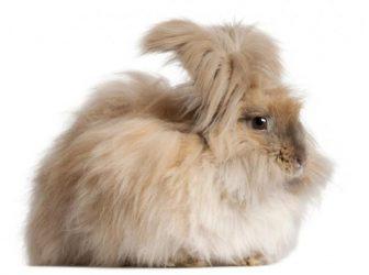معرفی خرگوش آنقوره یا آنگورا و ویژگیهای این نژاد جالب و دوستداشتنی