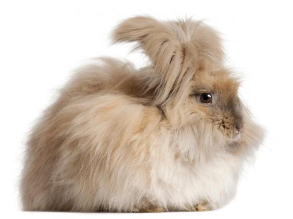 خرگوش آنقورا