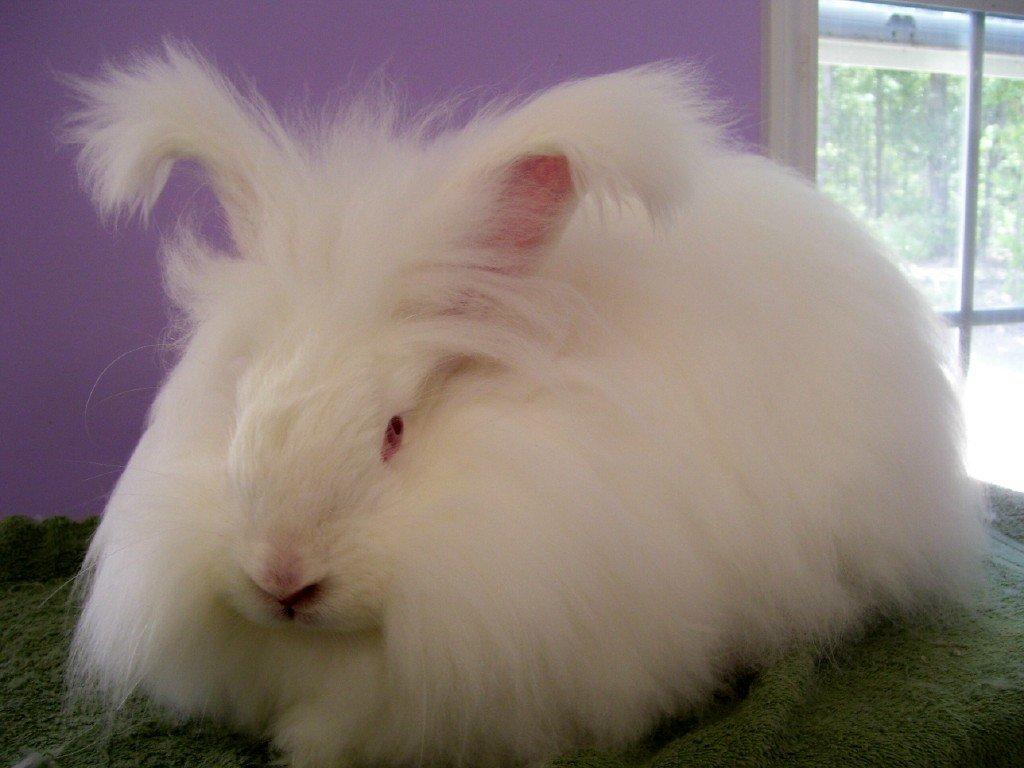 خرگوش آنگورای سفید