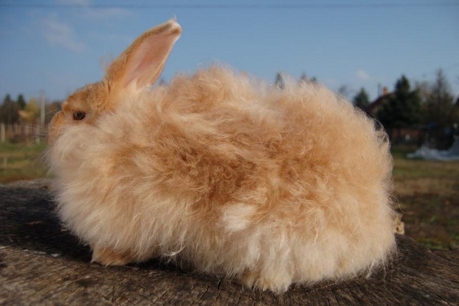 عکس خرگوش آنقوره