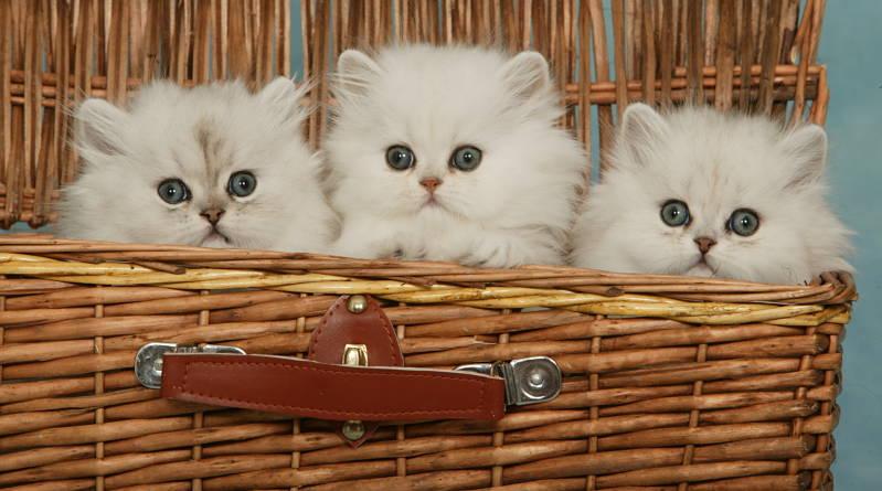 بچه گربه های چین چیلا