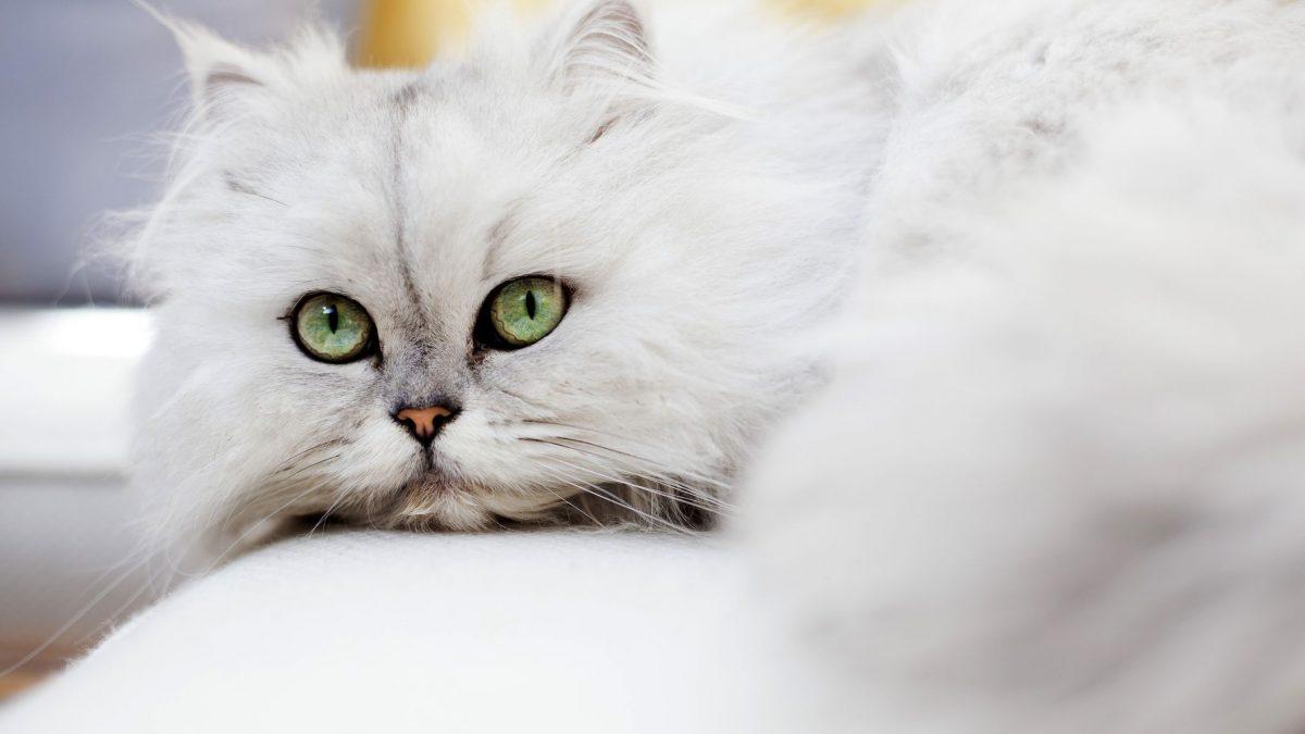 عکس گربه چینچیلا (Chinchilla)